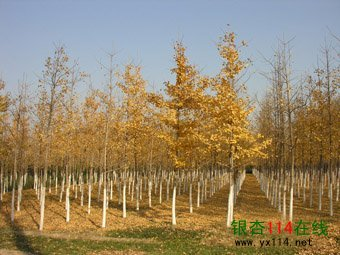 5公分银杏树