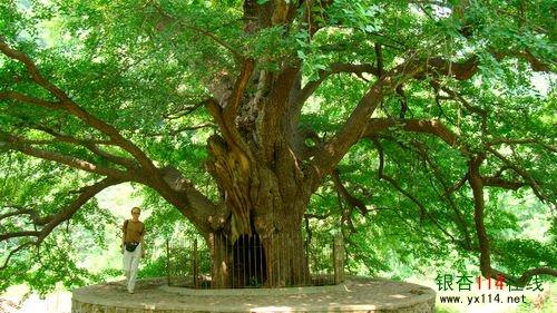 银杏大树图片