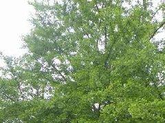 50CM古银杏树被盗挖