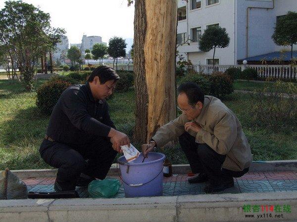 林检局森防专家给银杏树对症下药