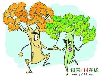 银杏树,银杏苗木价格,银杏树苗