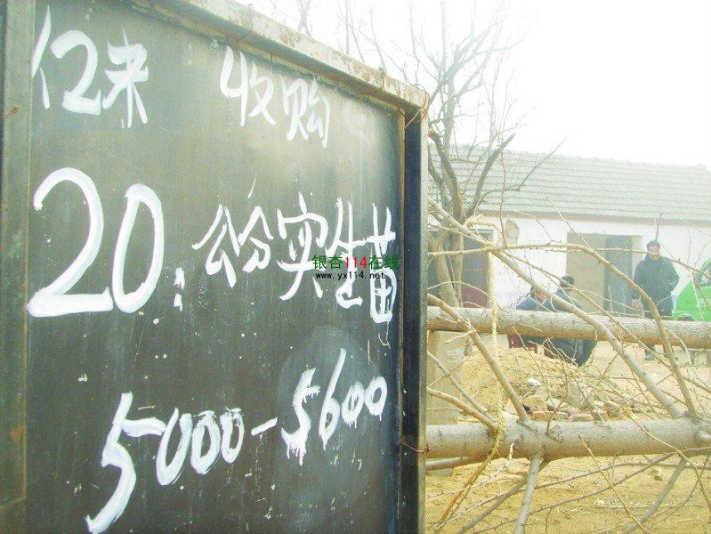 位于临沂市郯城县新村乡的银杏苗木交易市场