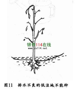 种植在排水不良的低洼地的银杏树图片
