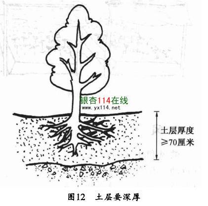 种植银杏树的土层要不低于70公分示意图
