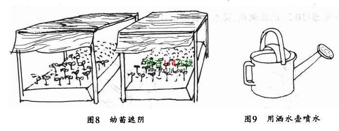 如何给银杏树幼苗遮荫指导图