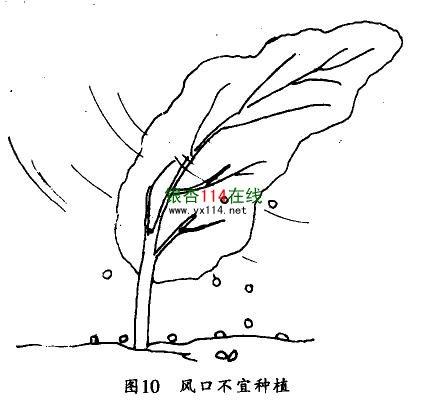 风口不宜种植银杏树