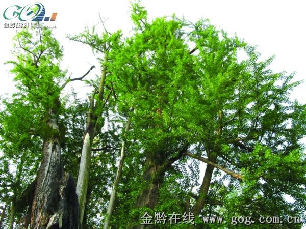 摆金镇3000岁银杏树