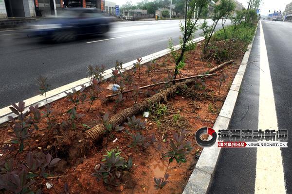长沙市枫林西路绿化带的银杏树被连根拔起,银杏树图片