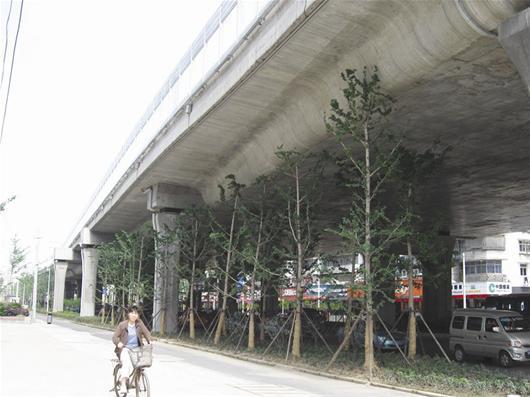 栽种在高架桥一下的银杏树图片