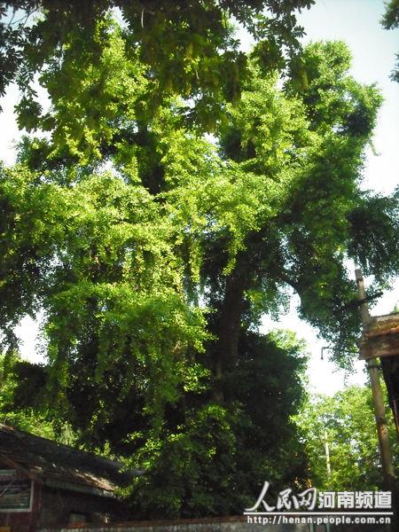 第二棵银杏树