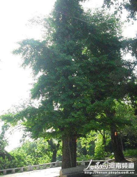第三棵银杏树