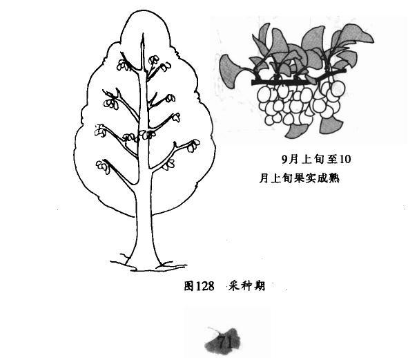 银杏种子采种期图片