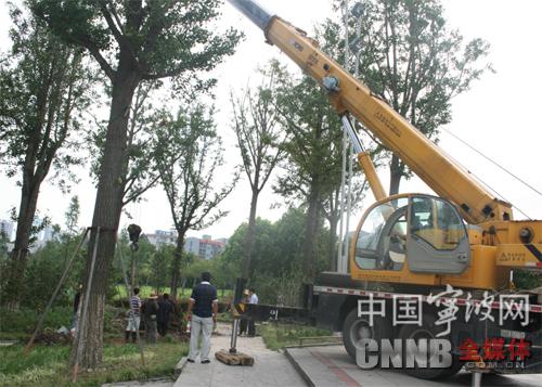 园林工人正在扶正银杏树