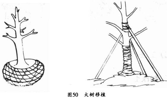 大树移植的一年春季芽萌动之前,在离树干适当位置,半圈挖深沟,沟深1米以上,宽0.6-0.8米。自上而下挖土,当超过主根群后逐渐斜向中心挖土.使沟底呈锅底状;像这样当年挖一半,明年再挖一半。大树移植前要进行树冠修剪,修剪堡掌握在1/3-3/5,以疏枝为主.结合短截,尽可能多保留一、二级分枝。挖掘土球时.要保证树木保留一定的根量,一般要求土球半径为大树胸径的6倍以上。土球用草绳包扎,对较大的成龄树,可采用铁板或木板固定土球、再用吊车起运。移植后立即立杆支撑树体。为减少树体水分蒸发,防止日灼,可用稻草绳从根