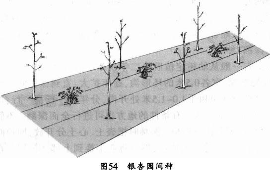 银杏园套种
