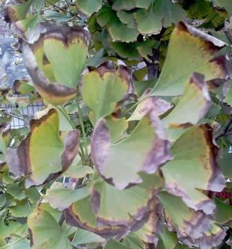 银杏叶枯病症状表现