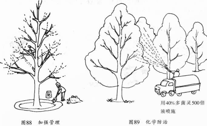 加强管理与化学防治银杏叶枯病
