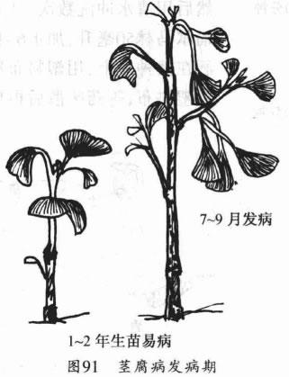 1-2年生银杏小苗木在7-9月份易患银杏茎腐病