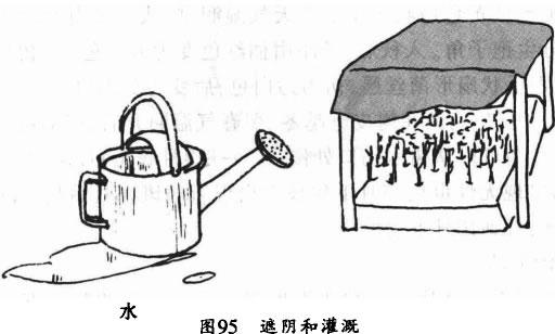 银杏小苗适度遮荫与灌溉