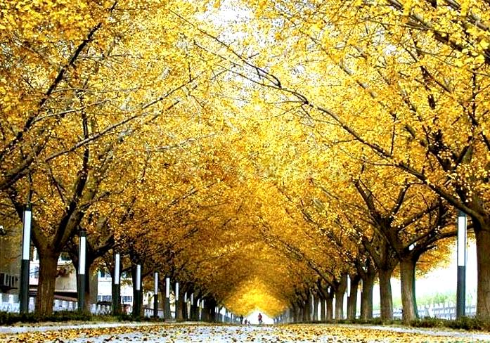秋天金黄的银杏树