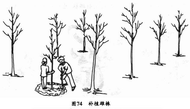 银杏树园如何配置授粉树