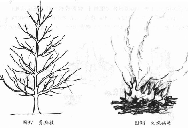 剪除银杏干枯病病枝后并烧掉