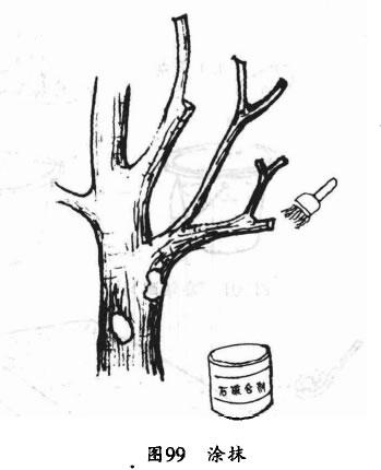 用波美5度石硫合剂或100倍硫酸铜液涂抹银杏病枝