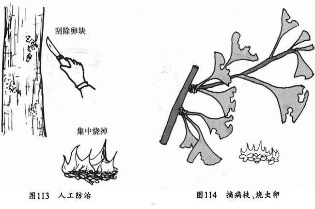 人工刮除卵块并摘除病枝然后集中烧掉