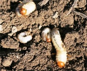 金龟子幼虫脐螬会危害银杏根系