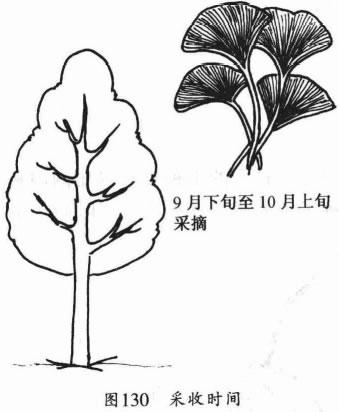 银杏叶以9月下旬至10月上旬采摘为宜