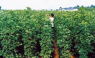 三年生银杏叶用苗圃