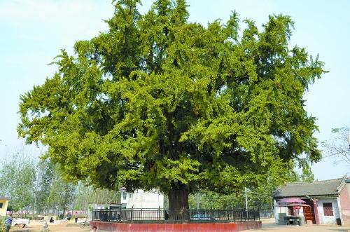 千年银杏树枝繁叶茂不显老