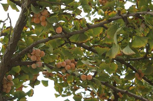 沉甸甸的银杏缀满了枝头