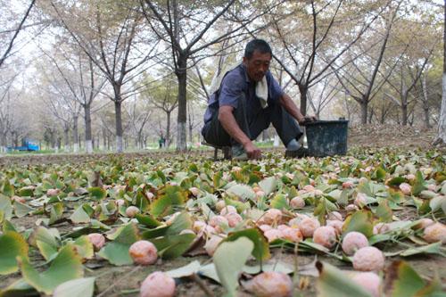 果农正在收捡银杏