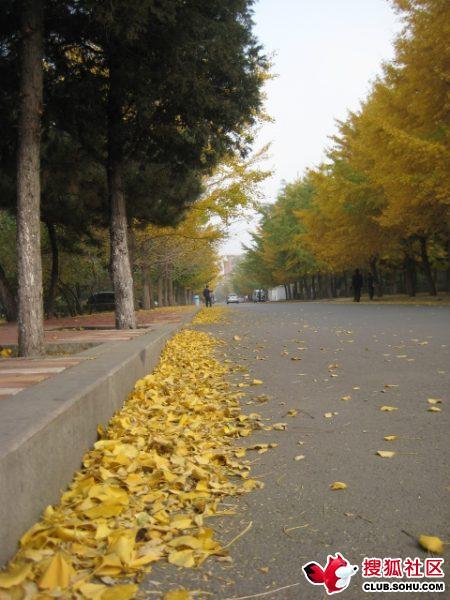 银杏路铺上厚厚一层黄叶
