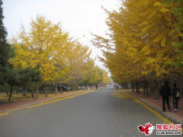 树叶集中飘落的那些天,银杏树成了美景