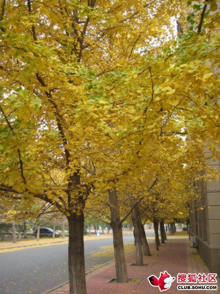 辽大最美的银杏树