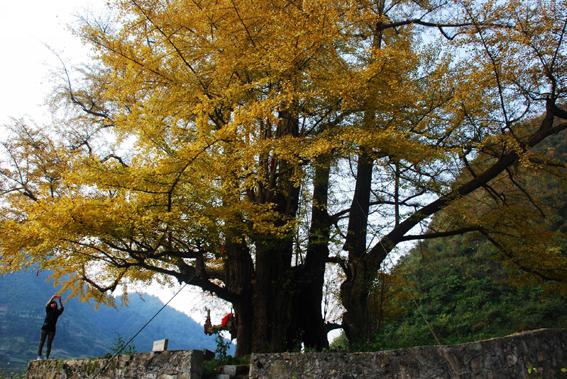 贵州福泉世界最大银杏古树