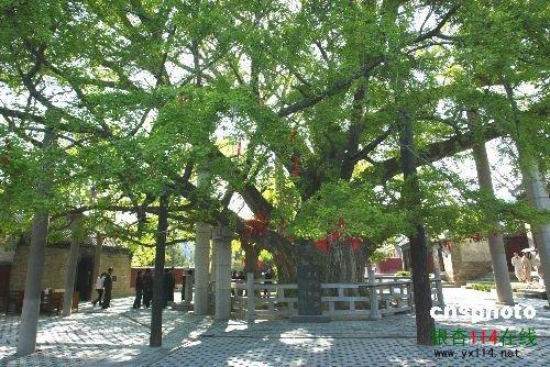 4600年莒县第一银杏古树