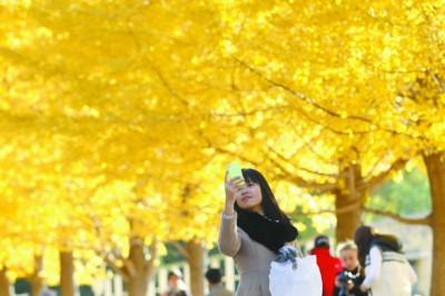 一位女孩用手机拍摄银杏叶