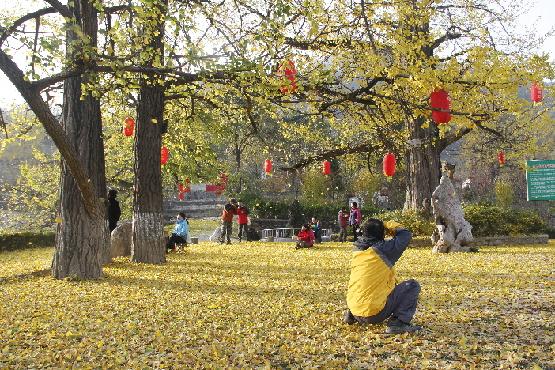 来自陕西宝鸡市的游客正在古银杏树前摄影留念