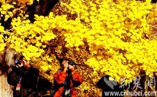 随州千年银杏谷金黄色的银杏叶吸引大批游客观赏