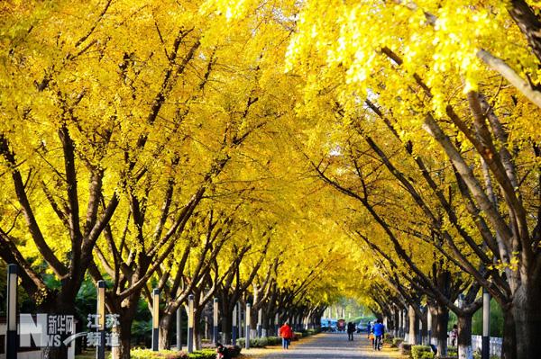 银杏树叶画-扬州银杏树叶美景如画