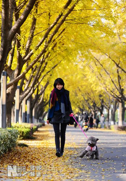 在银杏林 黄金大道 上,一位女士带着宠物狗玩耍