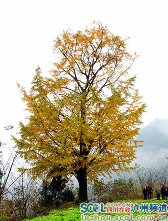 千年银杏树王树冠似祥云漂浮空中
