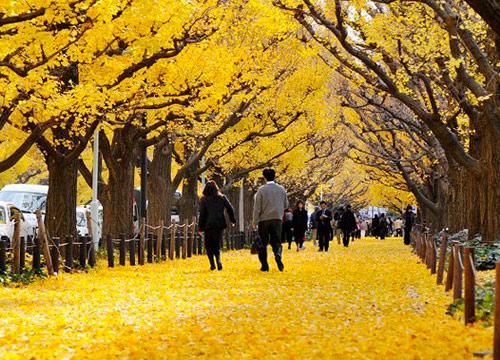 石门一路和大沽路口的银杏树