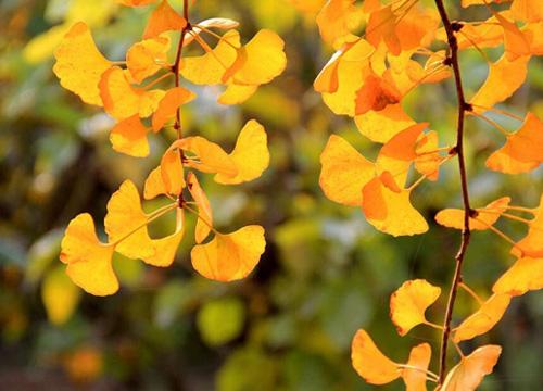 金黄色的银杏叶在温暖的阳光中飘飘洒洒地落在大草坪上