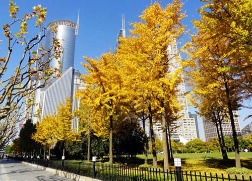 人民广场上的银杏树