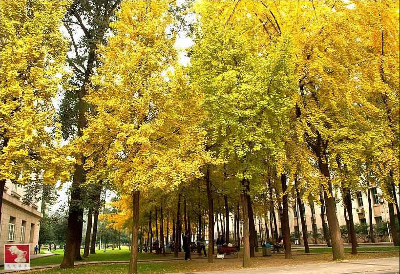 成都电子科技大的银杏树美景