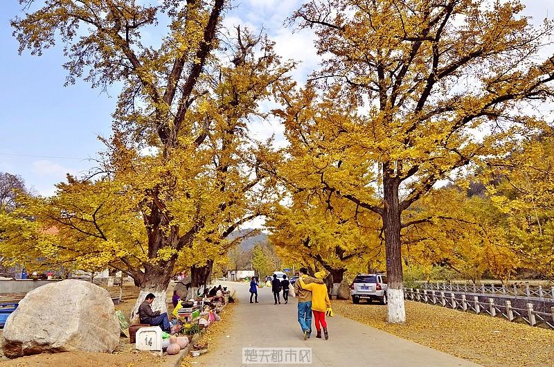 游人、情侣在银杏树下漫步